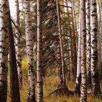 Осенью дождливой плакали берёзки. По ветру роняли золотые слёзки. :: Татьяна Ломтева
