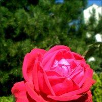 Осення роза :: Татьяна Пальчикова