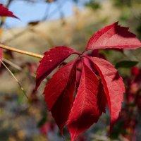Красная осень :: Андрей Кривошапкин