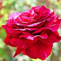 Роза :: Маруся Верведа