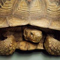 большая черепаха :: Марина Ионова
