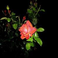 Роза ночью под дождем... :: Сергей Петров