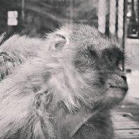Задумчивая обезьяна :: Полина