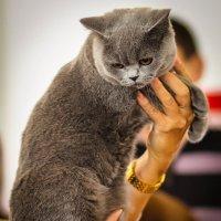 На выставке кошек в Минске :: Nonna