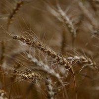 пшеничка в фоне :: Svetlana AS