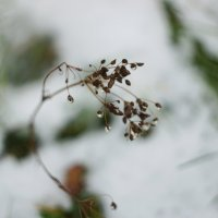 первый снег :: лина сергеева