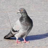 Питерский голубь с особой выправкой))) :: Михаил Жуковский