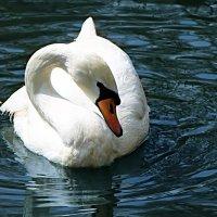 А белый лебедь на пруду.. Качает павшую звезду.. :: Маруся Верведа