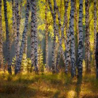 """Меж берёз и сосен тихо бродит осень..."" :: Roman Lunin"