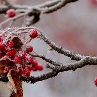 Первый мороз, рябина, красный нос... :: Александр Кокоулин