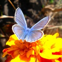 Голубяночка-икар! :: Наталья