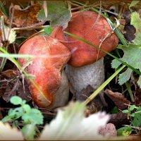 Про грибы.. :: Любовь Чунарёва