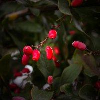 Красная ягода. :: Александр Лейкум