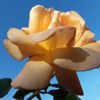 Роза в октябре! :: Наталья