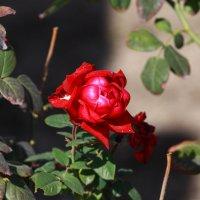 Розы в октябре :: Бахытжан Акботаев