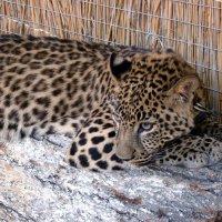 Леопард :: Сергей