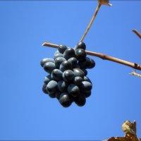 Последний виноград :: Татьяна Пальчикова