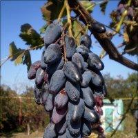Осенний  виноград :: Татьяна Пальчикова