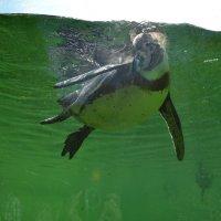Пингвин плавает :: Lyubov Zomova