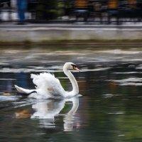 Плывущий лебедь. :: Андрей Гриничев