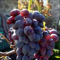 Вкусный виноград :: Татьяна Пальчикова