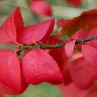 Бересклет бородавчатый осенью :: Неля Некрасова