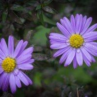 Цветы уходящей осени :: Виталий Латышонок