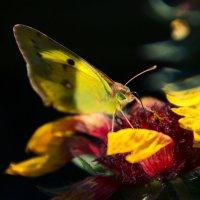 Бабочка :: Елена Неведицына