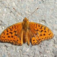 Бабочка :: Elena N