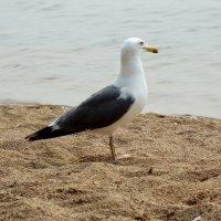 Чайка :: Elena N