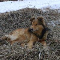 Собака на сене. :: Alex 711402