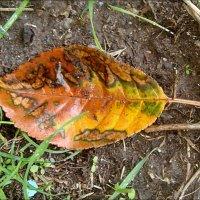 Разрисовала листик осень и умыла прохладным дождём... :: Нина Корешкова
