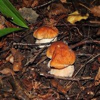Хорошая земля,если дарит такие грибы! :: Валентина Пирогова