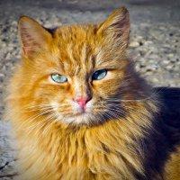 Рыжий кот :: Владимир Нефедов