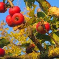 Райские яблочки в свете закатного солнца. :: Любовь