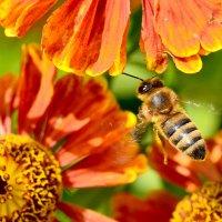 Пчелы 3 :: Viacheslav