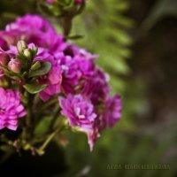 Цветы :: Анна Шапошникова