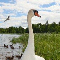 Лебедь :: Ирина Никифорова
