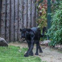 Жил да был чёрный кот :: игорь щелкалин