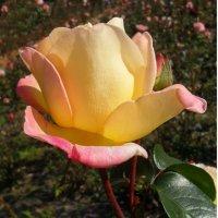 Смутившись,роза заалела...! :: Наталья