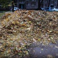 Урожай осенних листьев :: Ольга Кривых