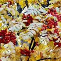 Принарядилась Осень бусами рябины... :: Milocs Морозова Людмила