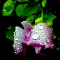 Дождь щедро розу напоил :: Марк