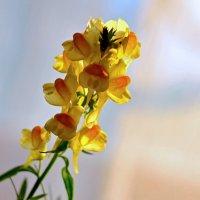 полевой цветок :: Виталий Городниченко