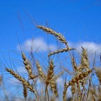 небо в пшенице :: Svetlana AS