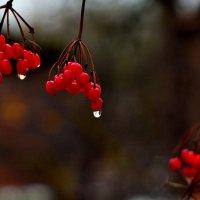 Дождик на калине :: Юрий