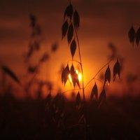 овес в закате :: Ksenia Sun