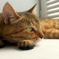 кошка Маркиза :: Ksenia Sun