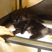 черная кошка :: Анастасия Вышемирская