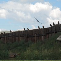 Канюки облюбовали забор :: Сергей Карцев